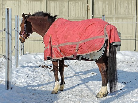 A winter turnout blanket with tail cover, suitable for severe weather 'Cavalli della Madonna' im Marstall des Klosters Einsiedeln 2013-01-26 14-11-05 (P7700).JPG