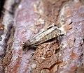 (1161) Rhopobota stagnana (34599966700).jpg