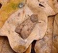 (2262) The Brick (Agrochola circellaris) (37603788252).jpg