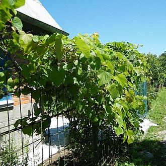 Vitis amurensis - Image: Амурский виноград в Хабаровске