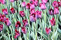 Виставка тюльпанів 10.JPG
