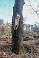 Віковий дуб з.п. «Рубежівський» 02.JPG