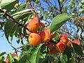 Дикі абрикоси у балці Північній Червоній.jpg
