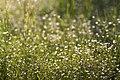 Макро фото рослин заплавних луків заказника4.jpg