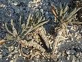 Меловая флора в Двуречанском парке.jpg