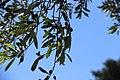 Олива. Пляж Цампика. Rhodos. Greece. Июнь 2014 - panoramio.jpg