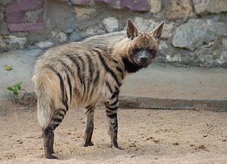 Hyaena - Image: Полосатая гиена 4