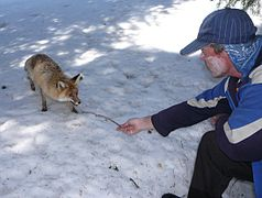 Прикормленная лисица.JPG