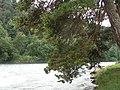 Сосны над р. Большой зеленчук - panoramio.jpg