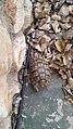 צב יבשה מצוי בחצר בית ביישוב רקפת 02.jpg