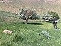 گلهای آغلاغان میاندواب-کندوی عسل - panoramio.jpg