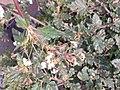 சீமை மூக்கிரட்டை 1 ( Boerhavia erecta).jpg