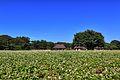 ひたち海浜公園 - panoramio (154).jpg