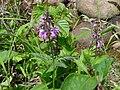 キタヨツバシオガマ(北四葉塩竈)(Pedicularis hokkaidoensis) (5966546272).jpg