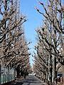 冬のイチョウ並木(2012.2.18) - panoramio.jpg