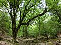 前鬼のトチノキ巨樹群.jpg