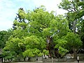 大山祇神社の大楠-Oyamazumi Shrine's camphor - panoramio (2).jpg