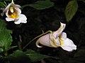 小花鳳仙花 Impatiens parviflora -台北花博 Taipei Flora Expo- (9227100399).jpg