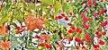 広島市植物公園 ベゴニア館 - panoramio.jpg
