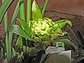 春蘭奇花 Cymbidium goeringii 'Odd' -香港沙田洋蘭展 Shatin Orchid Show, Hong Kong- (12317104264).jpg