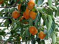 柿子 Persimmons - panoramio.jpg