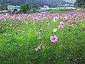 楓樹坑花海 Fengshukeng flower field - panoramio.jpg
