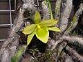 毛石斛(老人石斛) Dendrobium senile -香港沙田洋蘭展 Shatin Orchid Show, Hong Kong- (9213325797).jpg