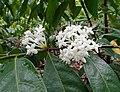 皇冠果屬 Phaleria capitata -新加坡植物園 Singapore Botanic Gardens- (15534326612).jpg