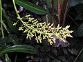 米蘭達豬籠草 Nepenthes Miranda -香港公園 Hong Kong Park- (9219893353).jpg