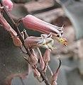 索馬里蘆薈 Aloe somaliensis -英格蘭 Wisley Gardens, England- (9255248294).jpg