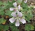 老鸛草屬 Geranium renardii -比利時 Ghent University Botanical Garden, Belgium- (9229776804).jpg