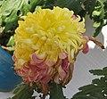 菊花-琥珀春光 Chrysanthemum morifolium 'Amber Spring Scenery' -香港圓玄學院 Hong Kong Yuen Yuen Institute- (12010223673).jpg