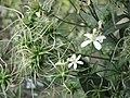 鐵線蓮屬 Clematis recta -牛津大學植物園 Oxford Botanic Garden- (9226997163).jpg
