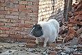 香猪! - panoramio.jpg
