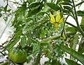 黑番茄 Solanum lycopersicum 'Black Russian' -香港元朗大眼仔農場 Yuen Long, Hong Kong- (16183597368).jpg