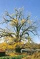 부여내산면의은행나무.jpg