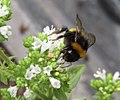 -2019-08-05 Bee on the flower of Oregano (Origanum vulgare), Trimingham (2).jpg