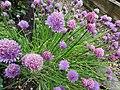 -2020-06-06 Chive in flower, (Allium schoenoprasum), Trimingham.JPG