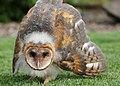 001 barn owl chick myatt odfw (7591227894).jpg