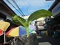 0546La Suerte lucky plant in the Philippines 08.jpg