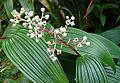 1.Maianthemum paniculatum (9179071193).jpg