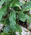 1024 Gemswurz-Greiskraut (Senecio doronicum), Laubblätter-2870.jpg