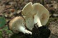 2012-08-25 Lepiota aspera (Pers.) Quél 253905.jpg