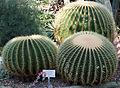 2012-09 Echinocactus grusonii anagoria.JPG