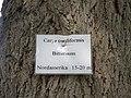 20130817Carya cordiformis2.jpg
