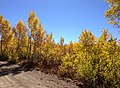 2014-10-04 13 42 09 View of Aspens during autumn leaf coloration along Charleston-Jarbidge Road (Elko County Route 748) in Copper Basin about 9.3 miles north of Charleston, Nevada.jpg