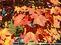 2014-10-30 09 32 43 Norway Maple foliage during autumn in Ewing, New Jersey.JPG