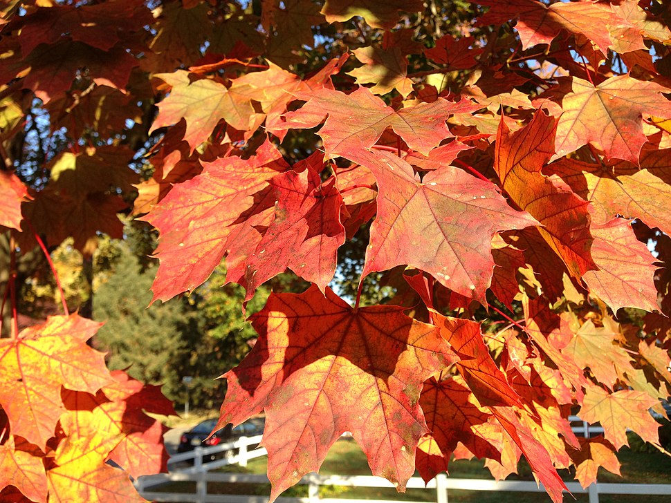2014-10-30 09 32 43 Norway Maple foliage during autumn in Ewing, New Jersey