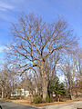 2014-12-30 13 30 11 Pin Oak on Broad Avenue in Ewing, New Jersey.JPG