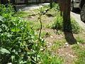 20140417Capsella bursa-pastoris2.jpg